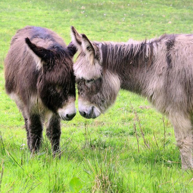 Donkey (colour)